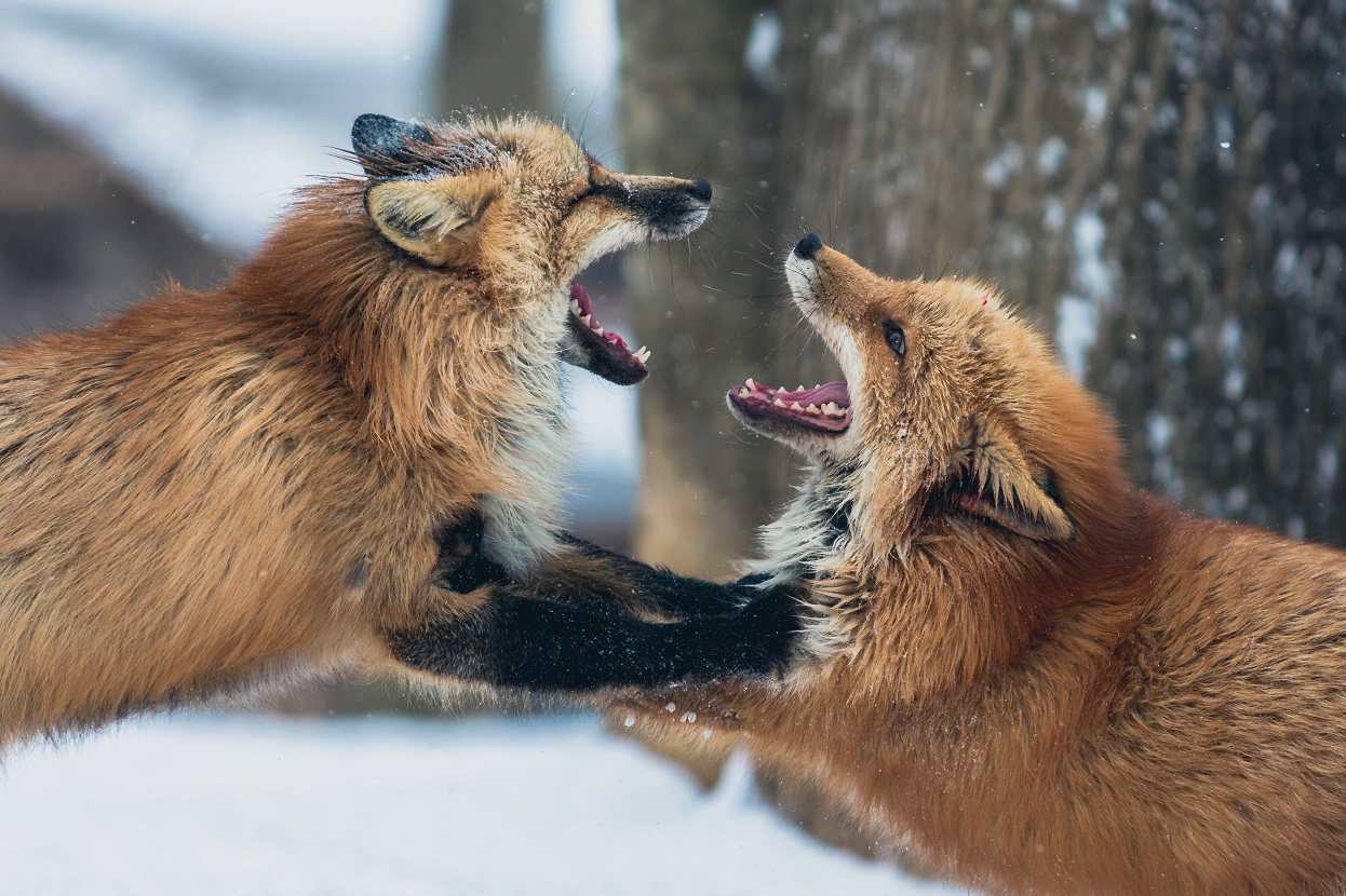 Lišky. Foto: Unsplash