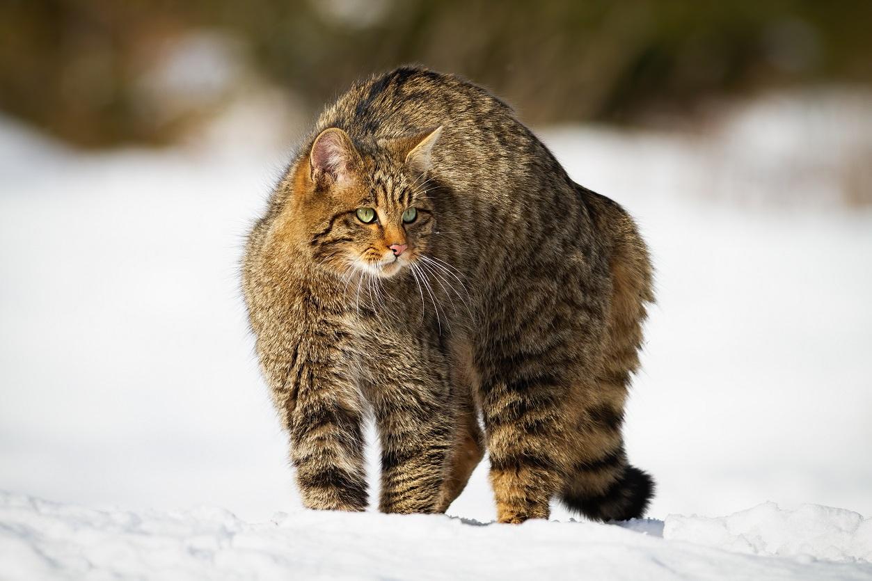 Divoká kočka. Foto: Freepik