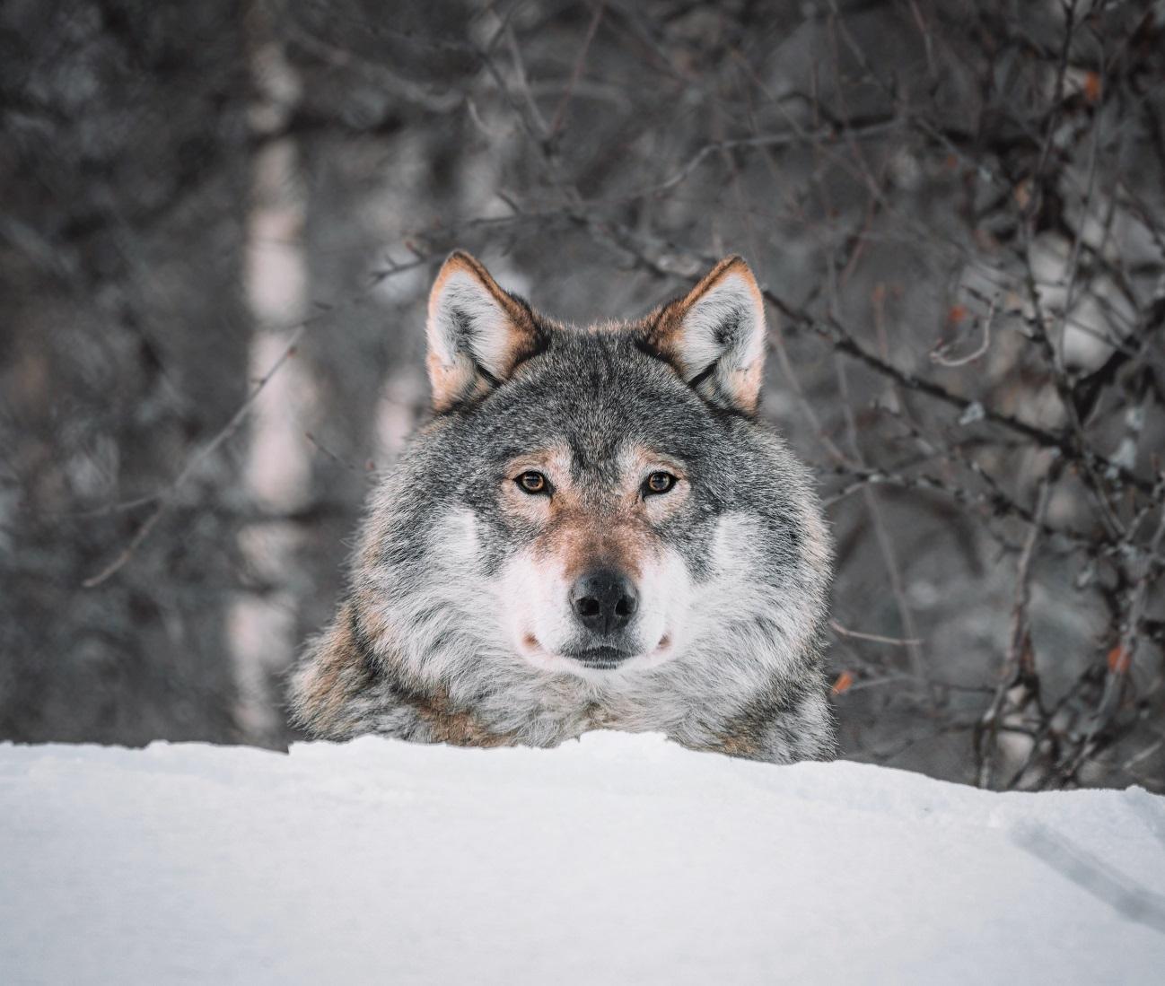 Vlk. Foto: Unsplash