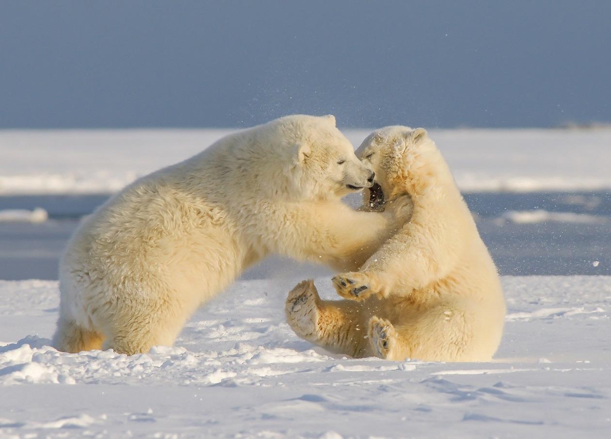 Lední medvědi. Foto: Unsplash