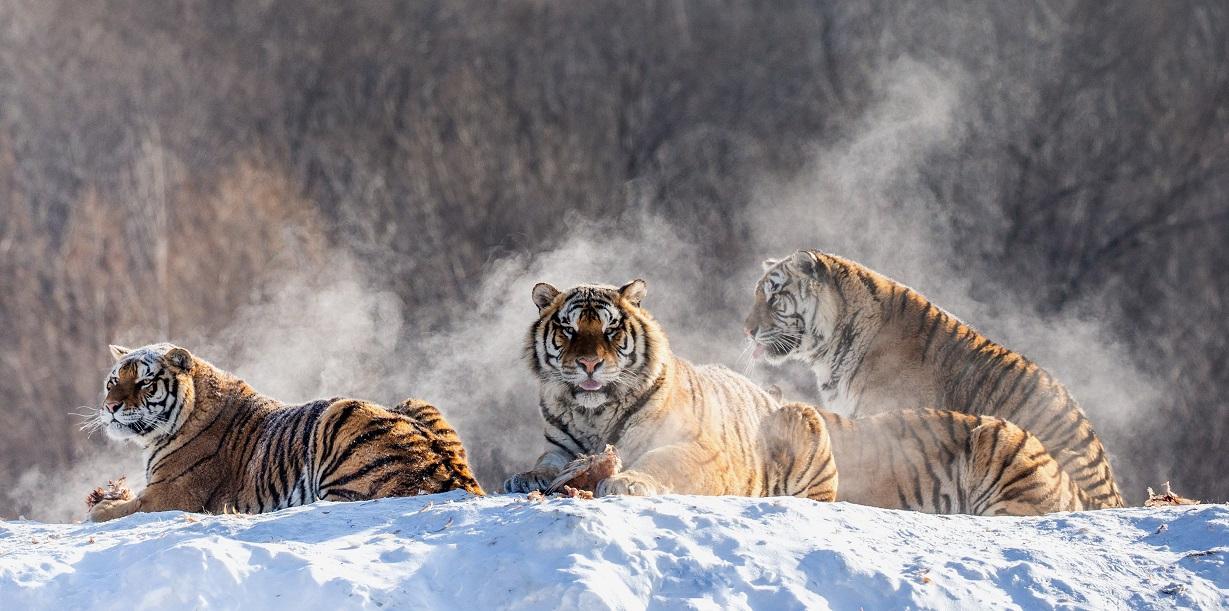 Tygři. Foto: Freepik