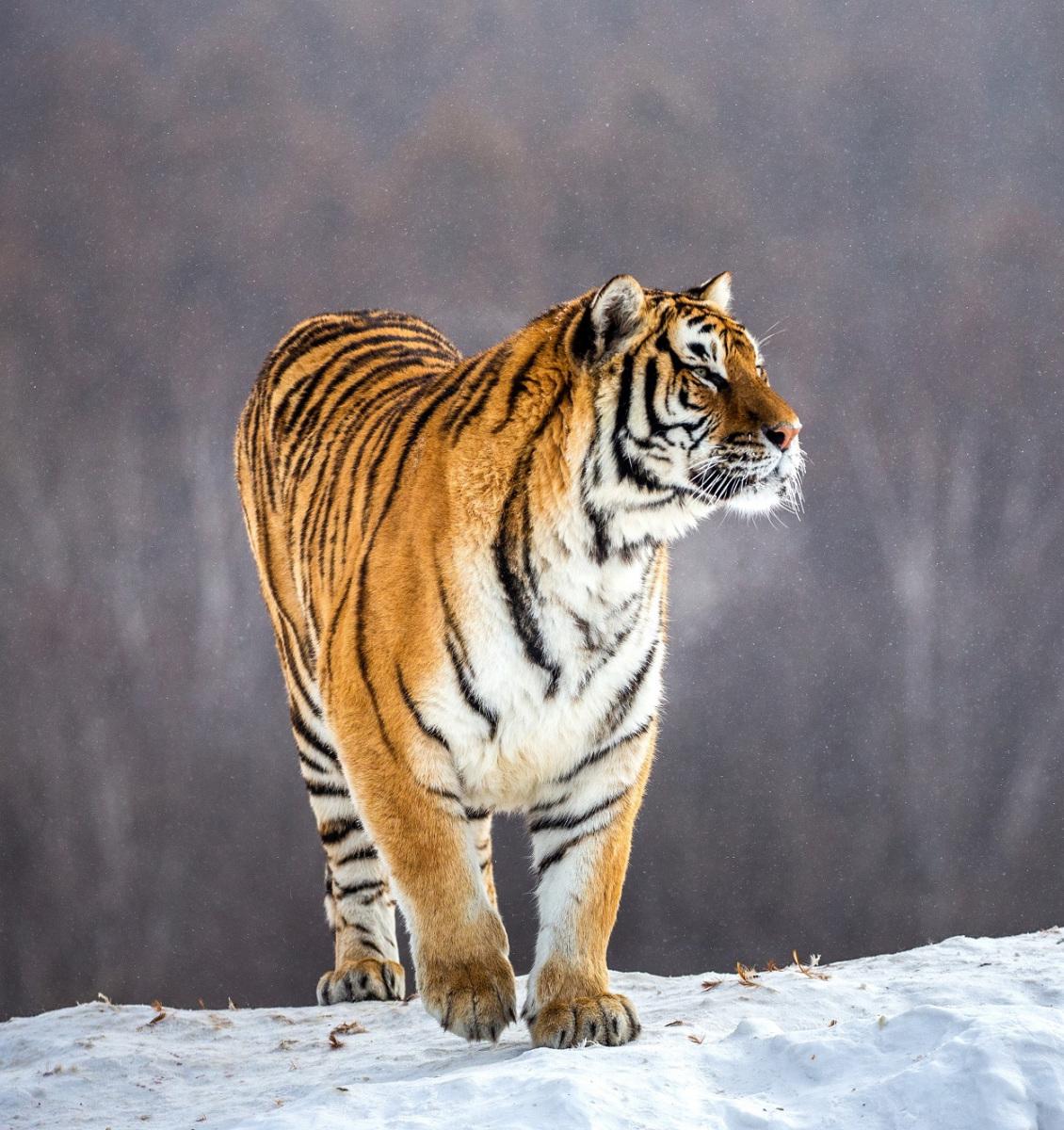 Tygr. Foto: Freepik