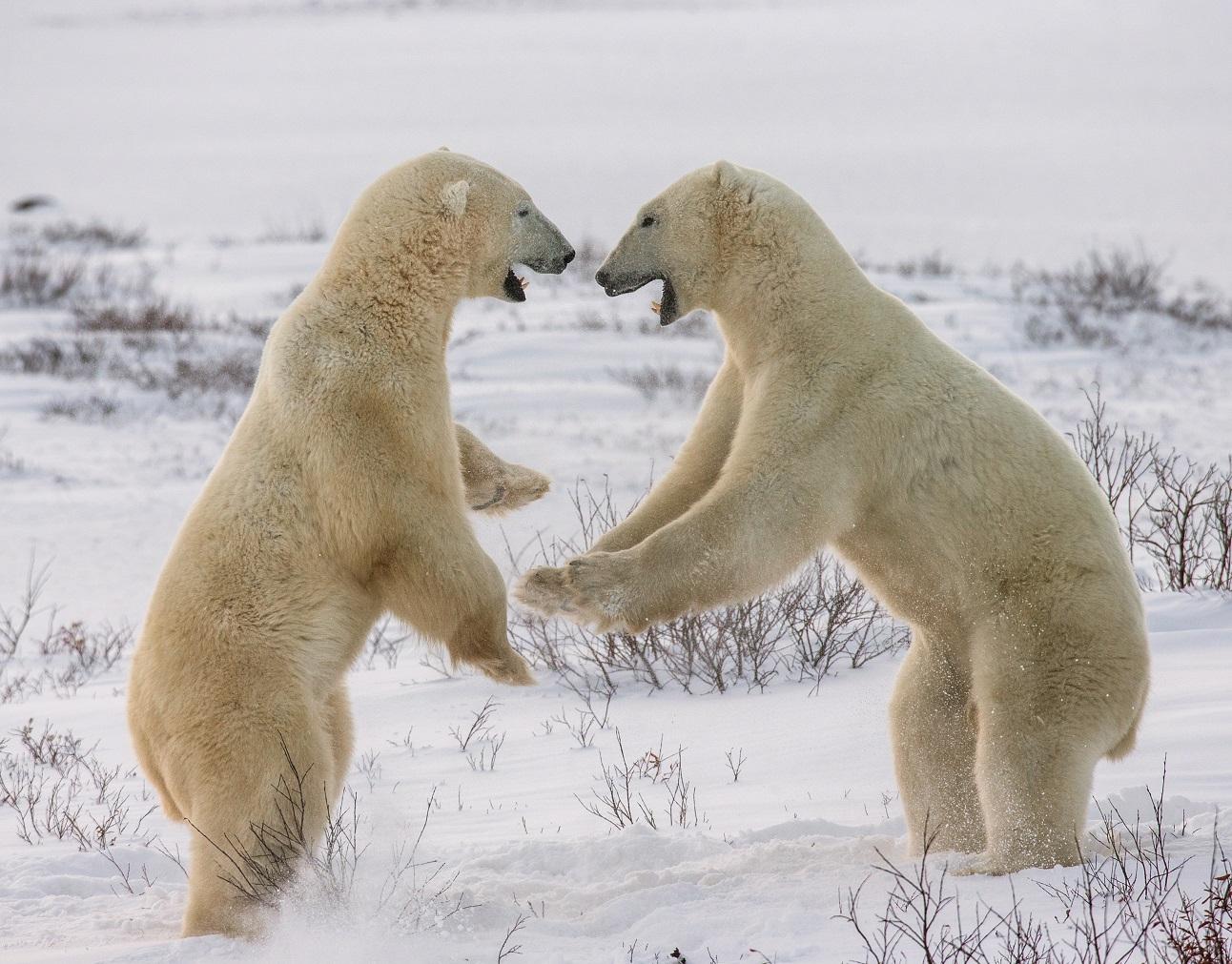 Lední medvědi. Foto: Freepik
