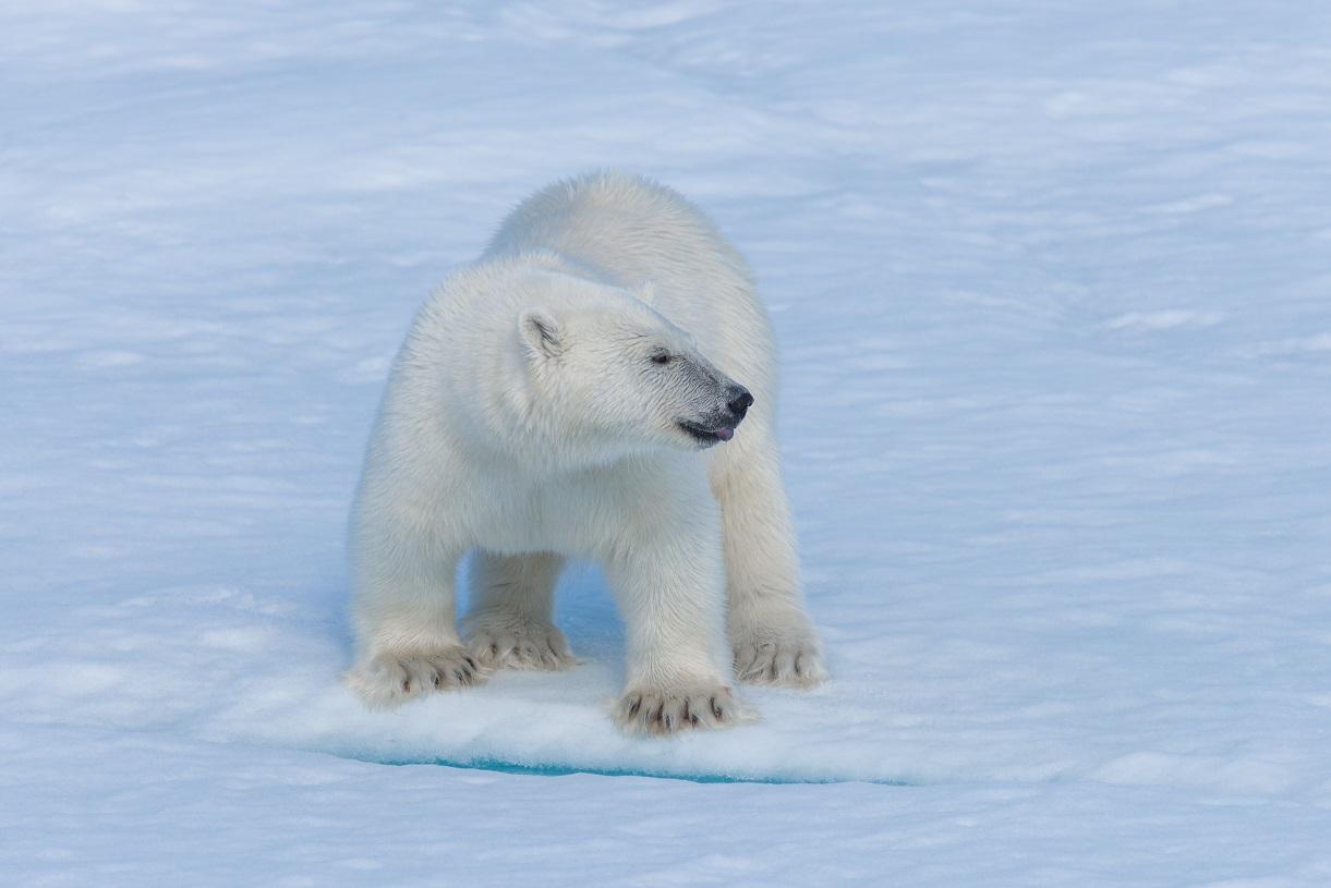 Lední medvěd. Foto: Freepik
