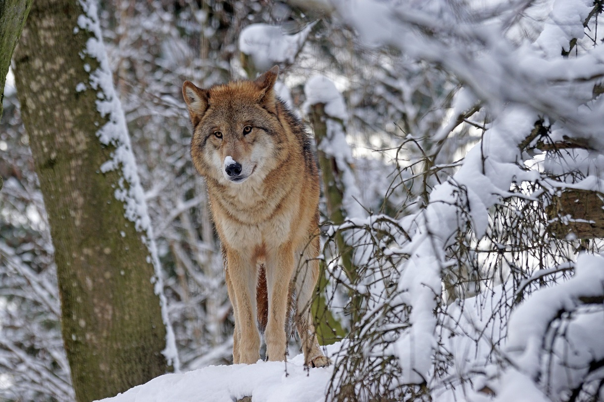 Vlk. Foto: Pixabay