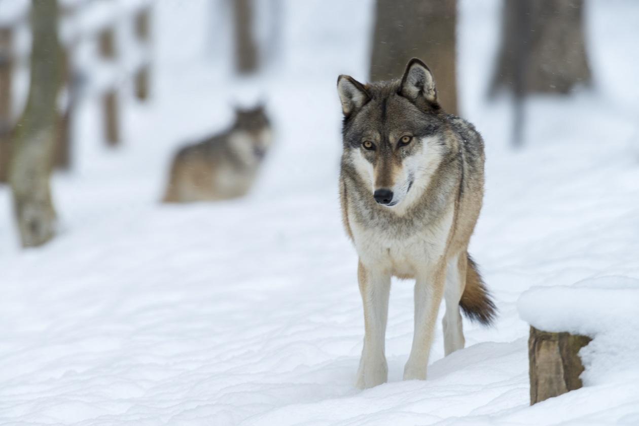 Vlk. Foto: Freepik
