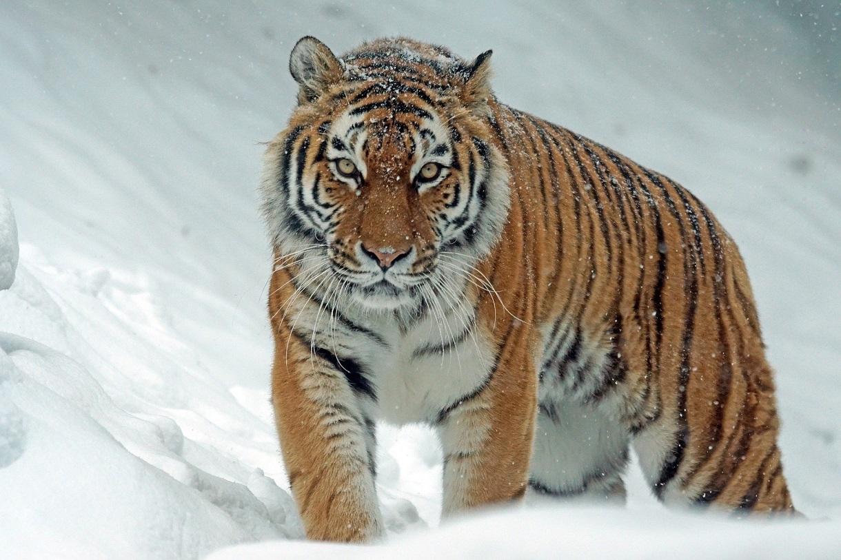Tygr. Foto: Pixabay