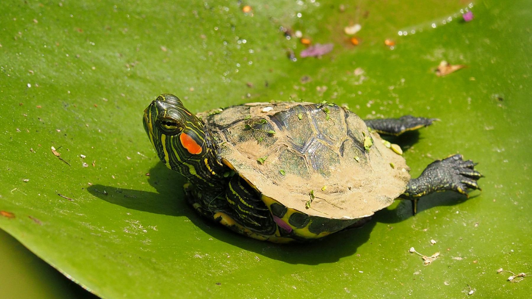 Želva nádherná