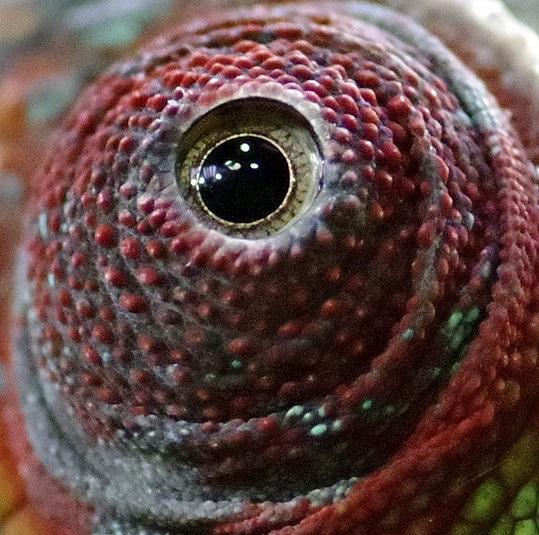 Chameleon. Zdroj: Pixabay