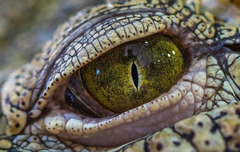Krokodýl. Zdroj: Pixabay