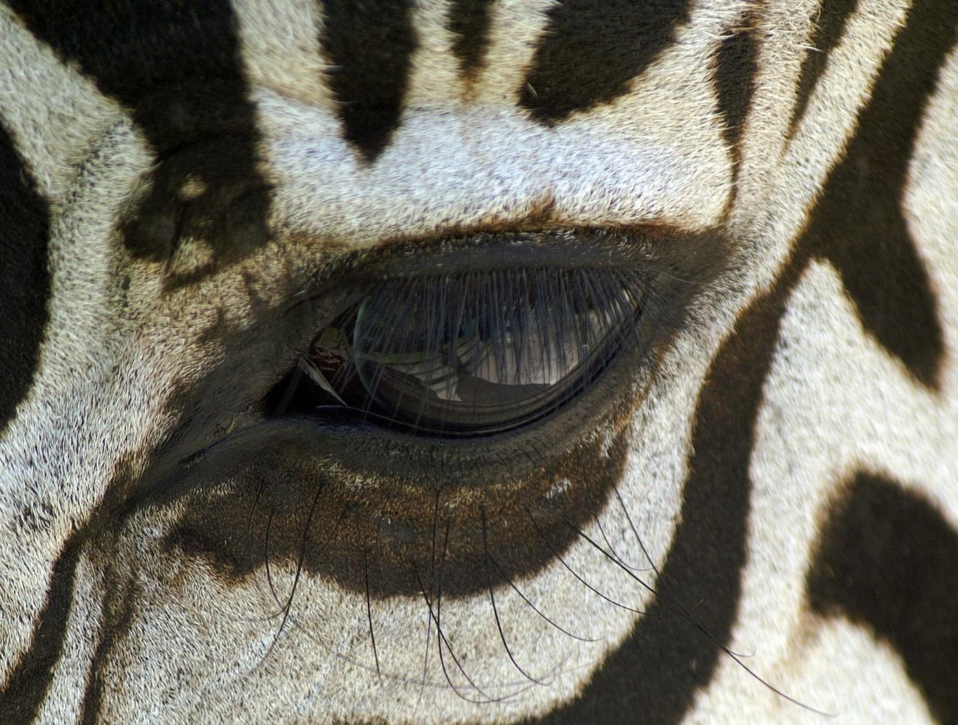 Zebra. Zdroj: Pixabay