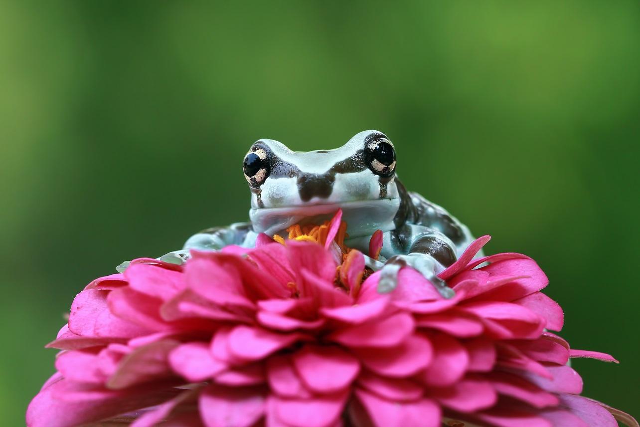 Ani žáby nemají vždycky na růžích ustláno.  Některé se musí spokojit s jiřinami. Foto: Freepik