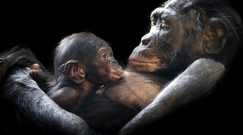 V přírodě zbývá tisíc goril. Poslední ránu jim může uštědřit pandemie koronaviru