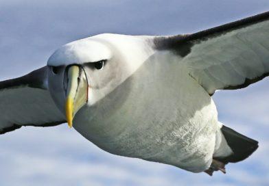 Miliony ptáků hynou s břichy ucpanými plastem. Proč si pletou odpadky se svou potravou?