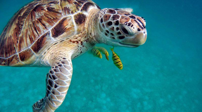 Mořské želvy přicházejí o samce. Mláďata se navíc líhnou z menších vajec plných arzenu či zinku