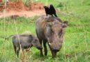 Chytrá prasata: Na hloubení děr používají lopatku