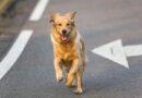 Desetina psů zahyne pod koly aut. Hlavně za nižší viditelnosti v zimě
