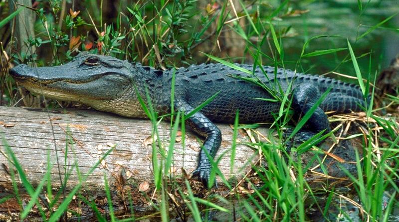 Aligátorům doroste utržený ocas, čolkům vypíchnuté oko. Vědce ohromují schopnosti zvířat