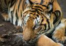 Ochránci zvířat varují: Norma, která měla utlumit trh s tygry, je v ohrožení