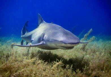 Žraloci vymírají. Počet některých druhů se za padesát let scvrkl na pětinu