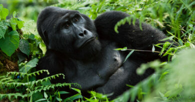 Pašák Winston! Gorilí samec přepral koronavirus. Veterináři teď zjišťují, která zvířata naočkovat