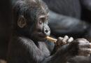 Covidem se nakazily gorily v zoo. Zdecimované populaci může pandemie uštědřit poslední ránu