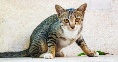 Zavedli byste povinné čipy pro kočky? Podívejte se, jak v anketě odpovídali čtenáři Zvířecích zpráv