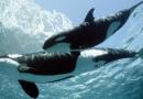 VIDEO: Fascinující záběry, jak přichází na svět mládě kosatky