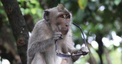 """Jedete na Bali? Pak si dejte pozor na opice. Loupí turistům cennosti a požadují za ně """"výkupné"""""""