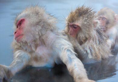 FOTOGALERIE: Opičí lázně v Japonsku. Makakové milují horkou vodu