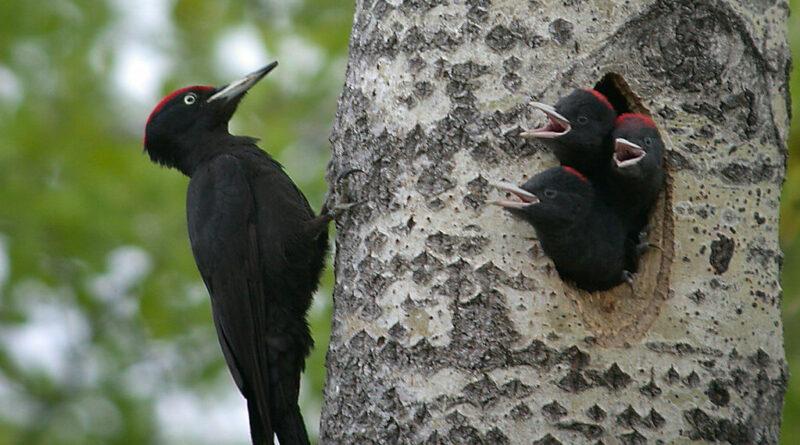 Proč se datlům nikdy nezasekne zobák ve stromě? Vědci našli odpověď