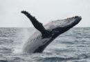 Snímky, které vyvolávají úzkost: velryba se marně snaží kličkovat mezi loděmi