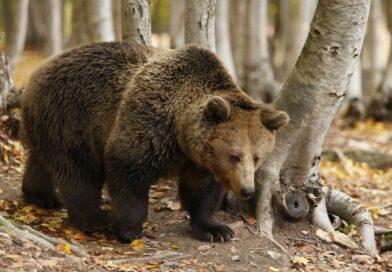 S propíchnutými čenichy museli tančit po žhavém uhlí. Týraným medvědům teď pomáhají útulky