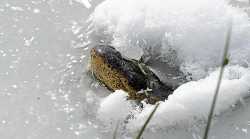 Jak aligátoři přežívají mrazy? Vystrčí čumáky z ledu