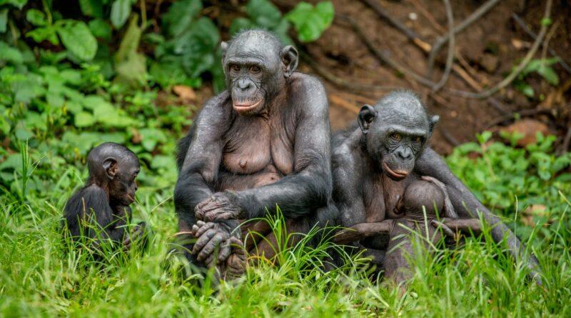 Šimpanzího sirotka se nečekaně ujala máma z cizí tlupy. Překvapené vědce to dojalo