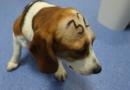 Bití do hlavy, vláčení, nadávky. Aktivisté natočili týrání zvířat v madridské laboratoři