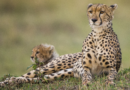 Gepardi v úzkých: U překupníků končí stovky mláďat, přežije sotva pětina