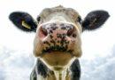 Video: Jaro je tady! Krávy skákaly radostí