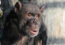 VIDEO: Jako když se lidé dívají na televizi. Šimpanzi sedí u promítacího plátna a přikusují k tomu salát
