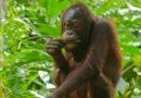Video: Zoufalý orangutan zaútočil na bagr, aby ochránil svůj domov