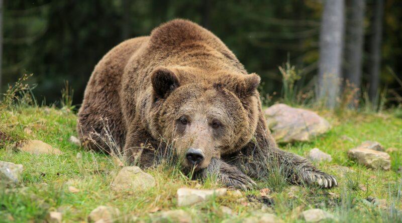 Ochranáři zabili medvědici i s mládětem. Stačilo zamknout popelnice, namítá biolog Evžen Korec