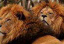 Lvi jsou tu chovaní jako vepři na porážku: na odstřel i do konzervy. Skončí už jihoafrické farmy?