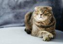 Belgie zakázala obchod s klapouchými kočkami