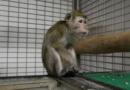 Další průšvih španělské laboratoře. Kromě týrání zvířat také falšovala výsledky, tvrdí svědkyně