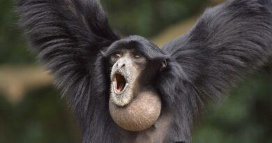 Giboni jsou mistři duetů, netopýři v hudbě improvizují. Která další zvířata zpívají?
